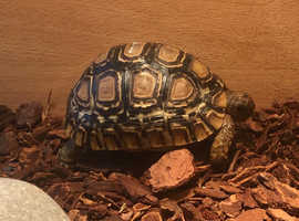 Leopard Tortoise & Setup
