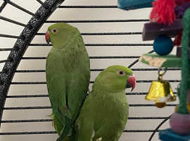 2 female Indian ringneck green parrots