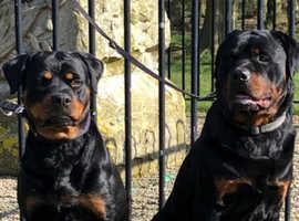 Full German rottweiler pups due 25th April