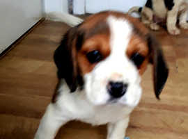 Gourgus beagle puppy's for sale