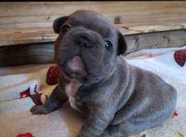 French Bulldog Puppies from Health Tested & KC Registered Parents