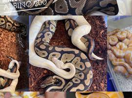 Male Proven Lavander Albino Ball Python