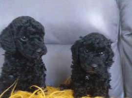 Stunning toy poodle puppies