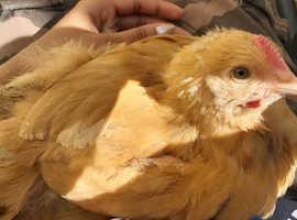 2 Month Old Purebred Buff Orpington Cockerel