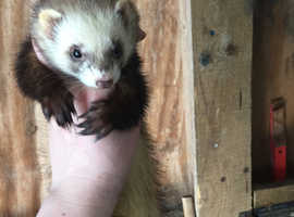 Ferret kits Due in May