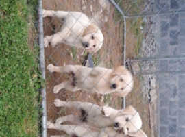 Beautiful goldador pups ready for there new home