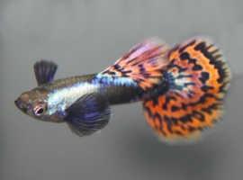Platinum Mosaic Big Ear Guppies Young Breeding Pair Tropical Fish