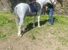 13.2 blue and white gelding