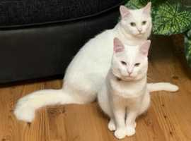 12 weeks female pure white Turkish angora kitten