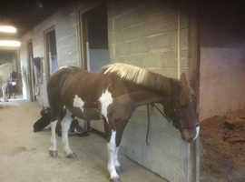 Irish sport horse x Hanoverian