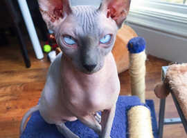 Blue Boy Sphynx For Stud Proven
