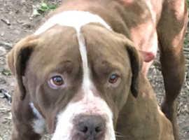 Chesapeake dog