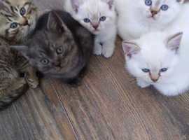 Lovely BSH kittens ready beg October