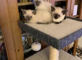 Beautiful kittens Siamese cross Ragdoll