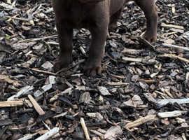 Choclate Labrador puppies