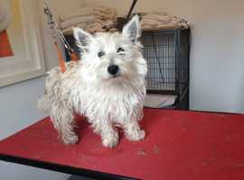 West Highland White Terrier for STUD (KC Registered)