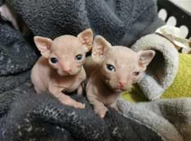 Rare sphynx bambino kittens