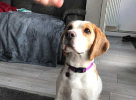 Lemon beagle KC registered, comes with everything