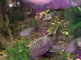 Bristlenose plecos for sale