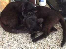 Beautiful 6 month old black kittens