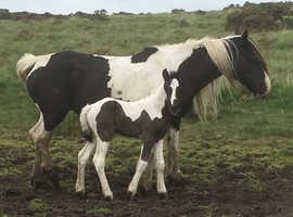 Cob X Colt Foal