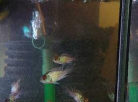 Baby Electric Blue Acara for sale