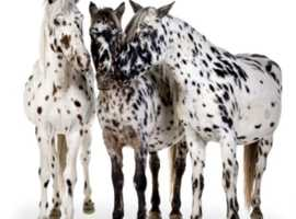 Wanted Appaloosa or spotted colt