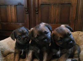 KC Reg Border Terrier Puppies for sale