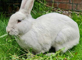Beautiful bonded lilac doe and mini rex doe for sale