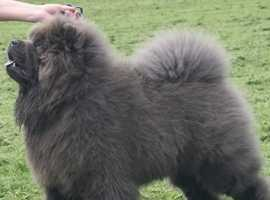 CHAMPION BLOODLINES CHOW CHOW AT STUD