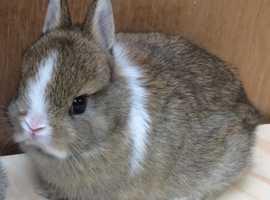 Pedigree netherland dwarf baby rabbits