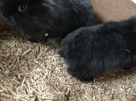 Pure bred baby lionheads