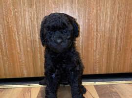 Jackapoo puppies 3 girls left