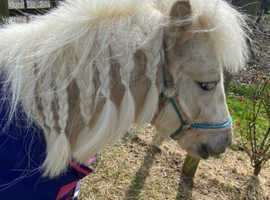 Leopard spotted palomino gelding