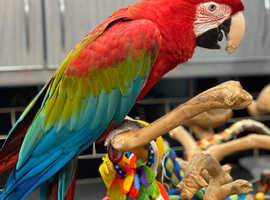 3yr old Green Wing Macaw parrot