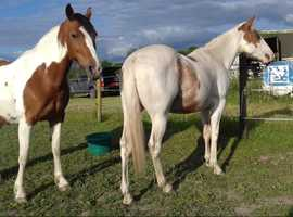 14.2hh to make 15hh paint gelding 2 1/2 yrs very sweet n loving