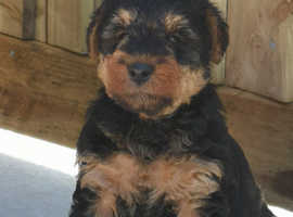 Beautiful welsh terrior puppies for sale