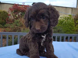 WANTED - Chocolate Boy Cockapoo