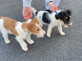Beautiful fox terrier puppies for sale £2750