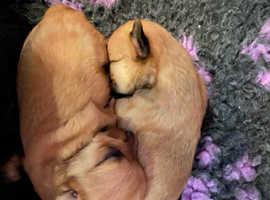 Stunning Chorkie little pups