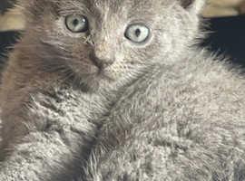 Beautiful blue Russian kitten
