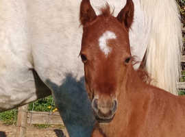 Eye catching Welsh part bred filly Foal