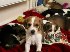 Beagle pups, beautiful markings available now