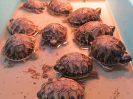 Hermann Tortoise Hatchlings for sale-Home Bred -2019 - £75-READY TO GO NOW