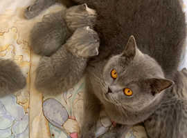 Stunning blue spotted BSH