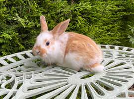 Mini Rex bunny's ready 10/8/21