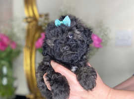 Ready Now Maltipoo Maltese Poodle toy small dog miniature puppies puppy apricot black silver blue small dog PRA