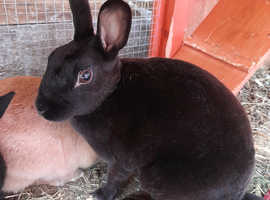 Female  black  mini rex rabbit