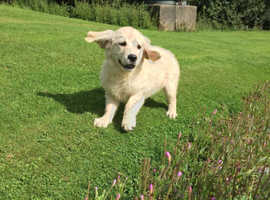 Golden Retriever Pups
