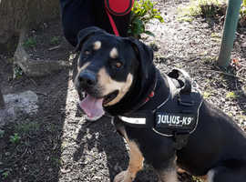 Wanting a Male rottweiler to breed our beautiful rottweiler cross eith